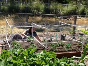 diehl tomato cages